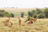 Grant's Gazelles in Tsavo East National Park Kenya poster