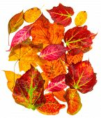 A selection of back lit autumn fall leaves isolated on a white background poster