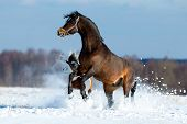 Two different horses get fun in the snow field in winter background, freedom. poster