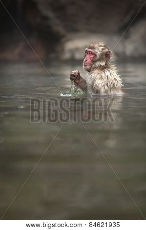 A lone Japanese macaque sits in a onsen in Japan