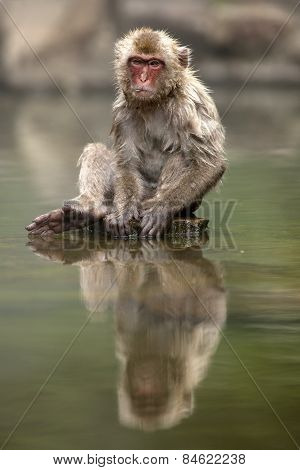 A young Japanese macaque sits and watches the world go by around his own private bath