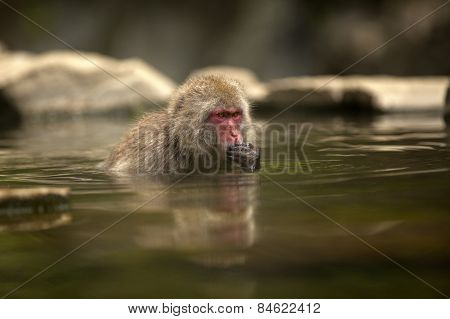 A Japanese macaque sits in his own private onsen