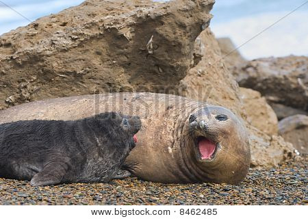 Mother And Baby Elephant Seals.