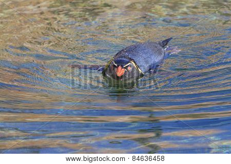 Rockhopper Penguin In Water