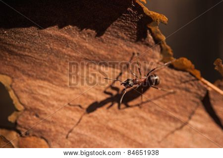 Red Ant Formica Rufa Sit On Bark