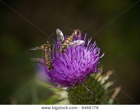 Hoverflys On Thistle