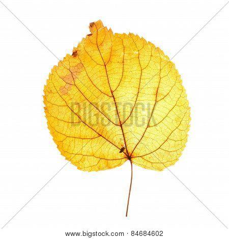 Yellow Autumn Leaf Isolated