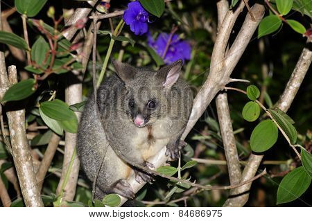 Animals Mammals Possums New Zealand
