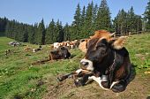 Cows in a shelter on a mountain pasture in a summer landscape under the dark blue sky. poster