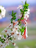 Martisor - romanian symbol of the beginning of spring poster
