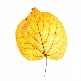 Yellow Autumn Leaf Isolated