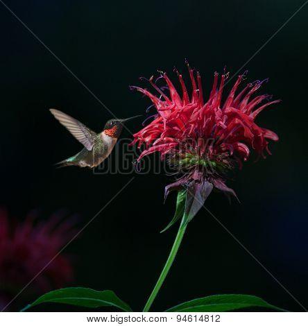 Ruby-throated Hummingbird On Bee Balm