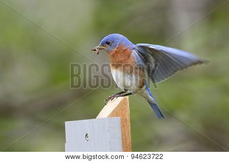 Male Eastern Bluebird With A Sider In Its Beak