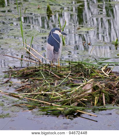 Black-crowned Night Heron Is Staying Near The Water