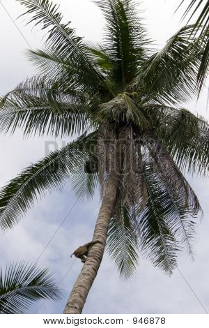 a monkey climbs a coconut tree to pick coconuts on koh samui thailand poster