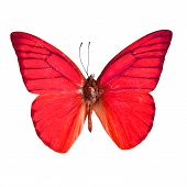 Red butterfly Orange Albatross Butterfly (Appias nero galba) in fancy color profile isolated on white background poster