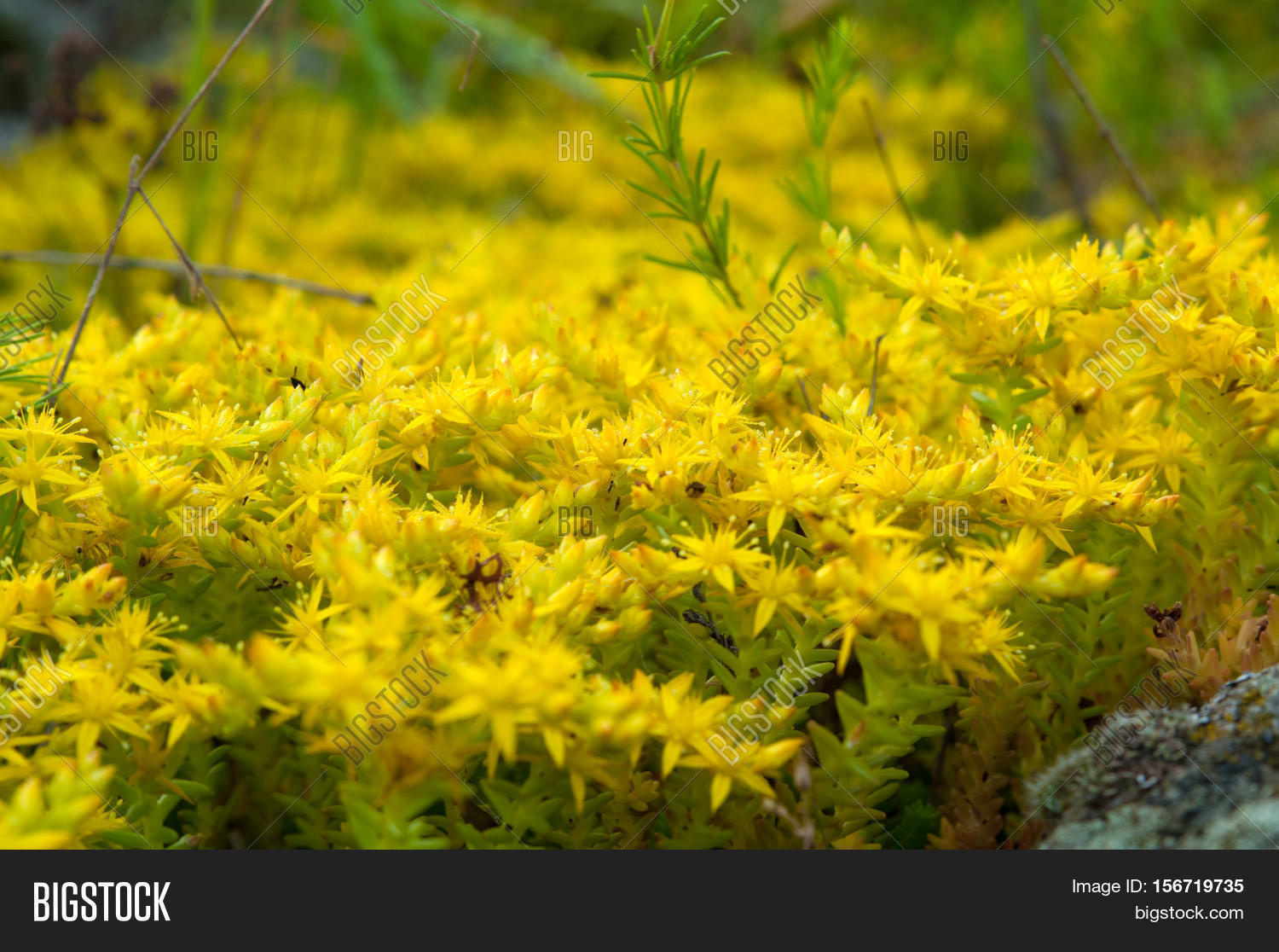Yellow flowering moss sedum image photo bigstock yellow flowering moss sedum sexangulare plants mats ornamental flowering moss ground cover plants mightylinksfo Images