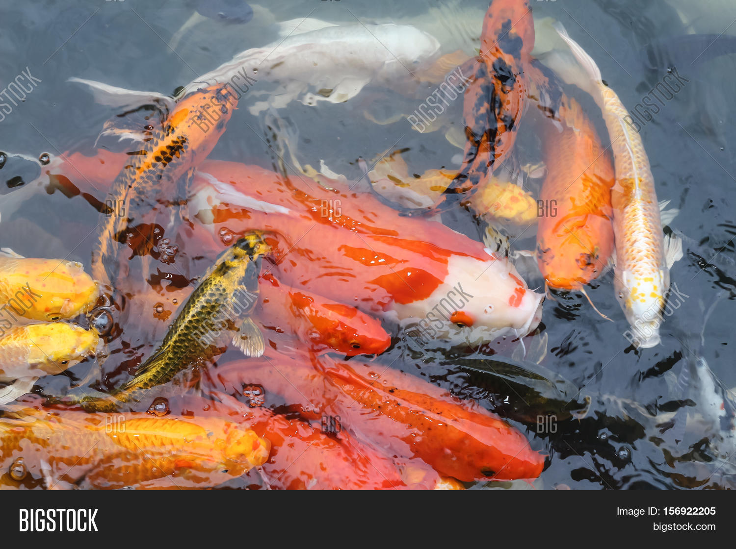 Colorful Fish CARP Fancy Carp, Image & Photo | Bigstock