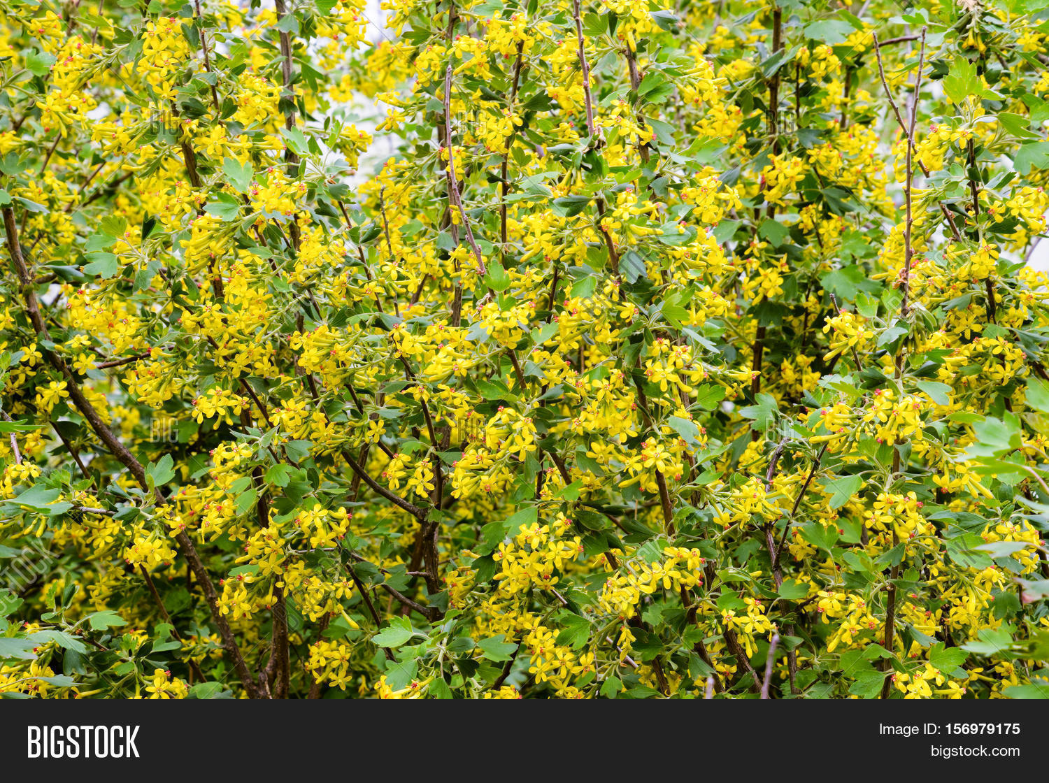 Golden Currant Blooms Image Photo Free Trial Bigstock