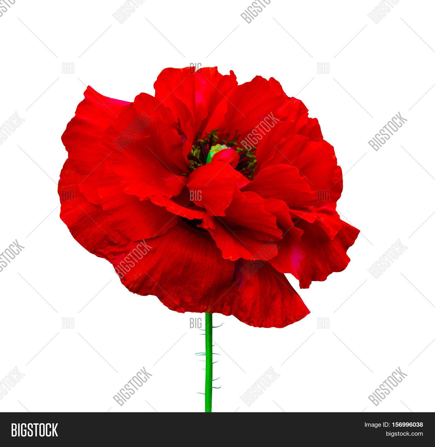 Poppy Red Poppy Image Photo Free Trial Bigstock