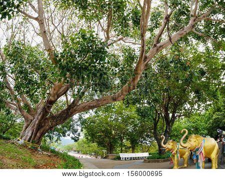Big Bodhi Tree at Phromthep Cape phuket Thailand
