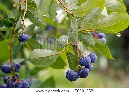 ripe blueberries on berry bush with raindrop