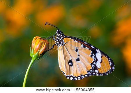 Plain Tiger Butterfly(danaus Chrysippus), Butterfly