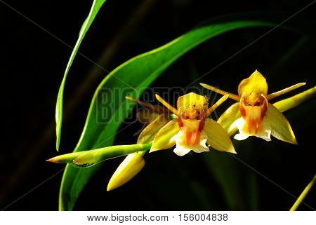 Coelogyne fuscescens (Ueang thian nu) Rare species wild orchids in forest of Thailand This was shoot in the wild nature