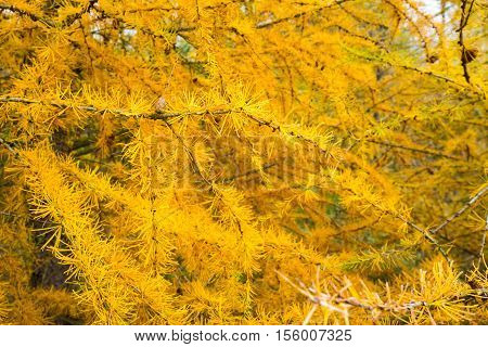 Yellow Larch Branch At Autumn