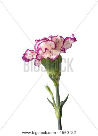 Purple And Cream Chrysanthemum
