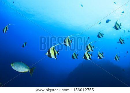 Moorish Idols fish (Bannerfish, butterflyfish, angelfish)