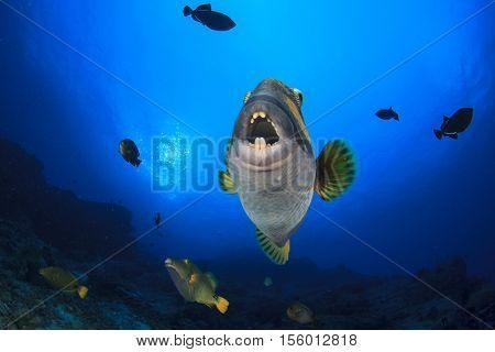 Titan Triggerfish fish coral reef underwater