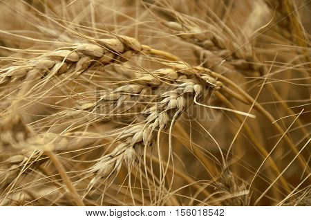 An abstract image of a grain crop in a field.