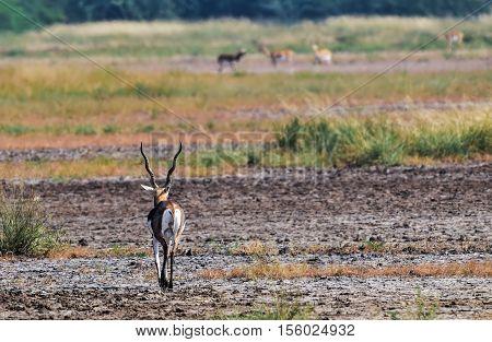 Lone male black buck deer walking down the path towards a group of black buck doe