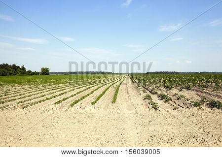 Agricultural field on which grow green young carrots. small depth of field. potatoes on the other hand