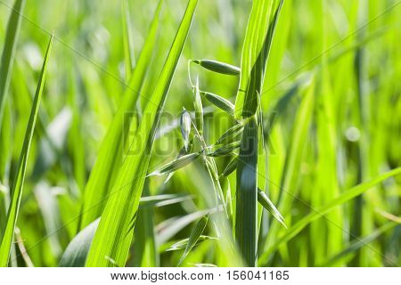 Agricultural field on which grow immature cereals, oats