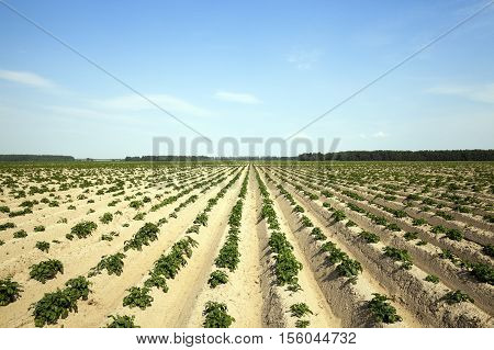 Agricultural field on which grow potatoes, potato furrows