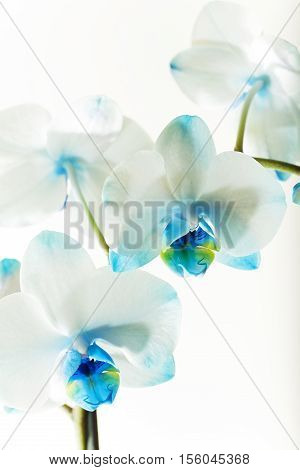 photographed close-up on a light background orchid with blue flowers