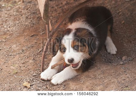 It is image of cute small puppy.