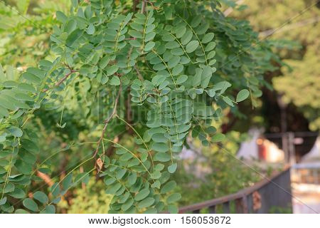 Leaves of Robinia a genus of flowering plants in the family Fabaceae subfamily Faboideae