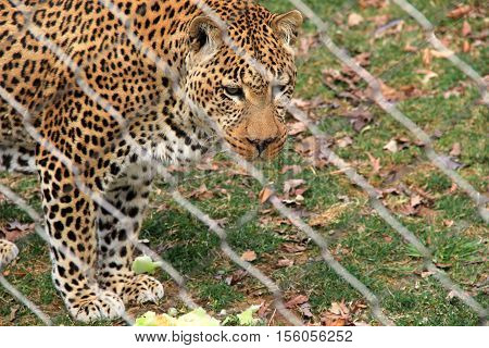 Larger-than-life leopard seen through fence at zoo.