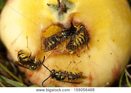 wasps' group sits and eat apple in garden