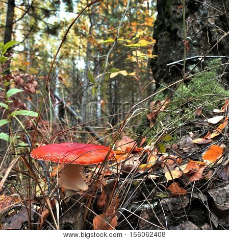 The spotted red fly agaric in autumn forest. Mushroom on a glade in autumn mushroom forest. Mushroom with red cap or head