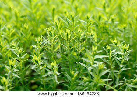 Growing Green Flax