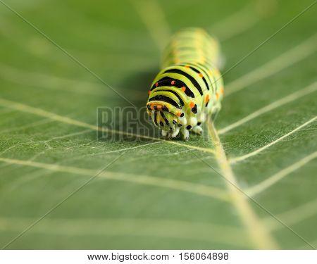 Vermin Caterpillar