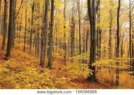 Autumn beech forest, October,  Poland.