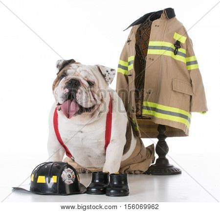 bulldog dressed like a firefighter on white background