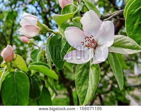 Flowering Branch Of Apple Quince