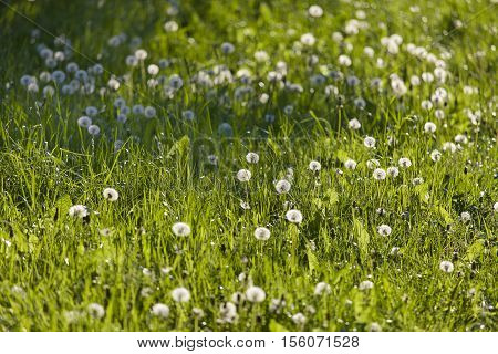 Dandelions in meadow against the sun with shallow depth of field