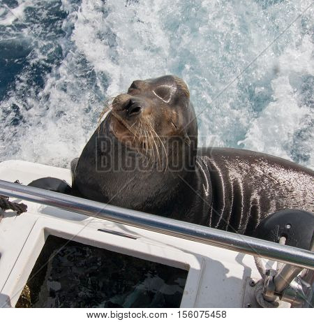 California Sea Lion begging for fish on a charter fishing boat in Cabo San Lucas harbor in Baja Mexico
